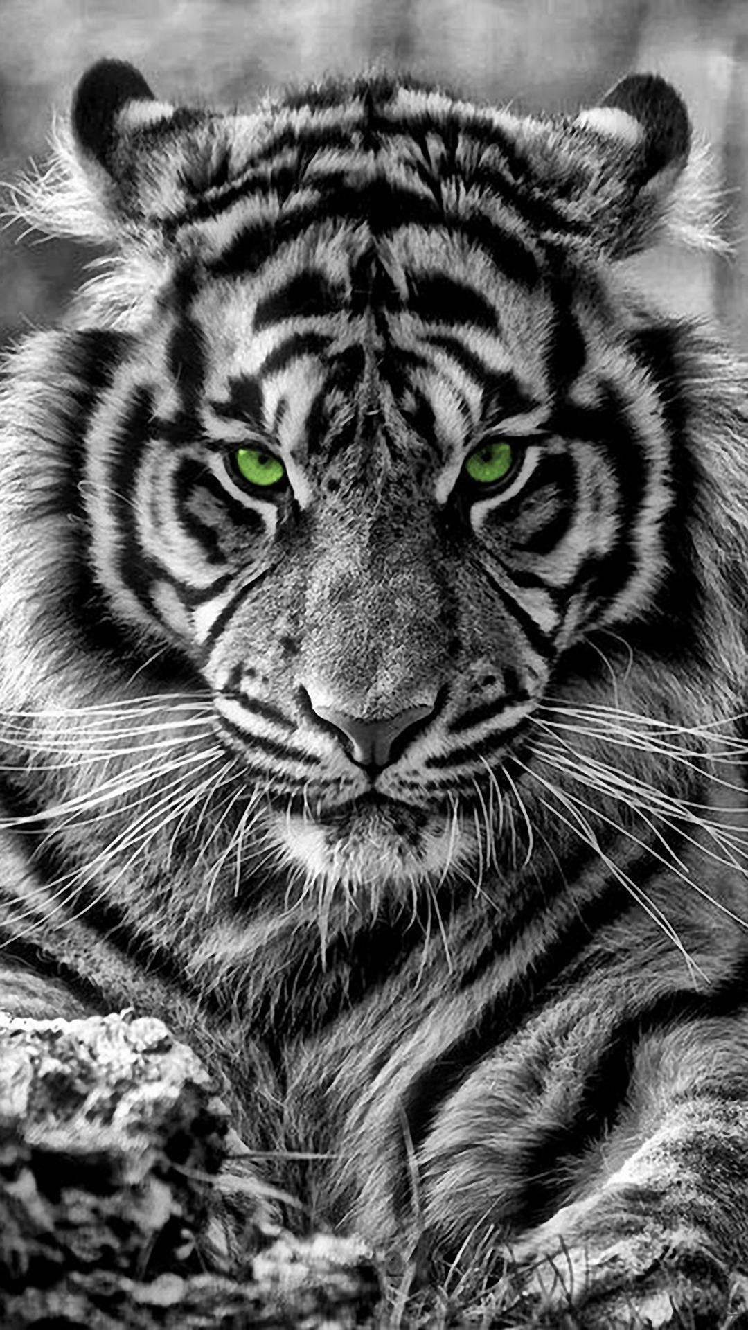 Tiger Iphone Wallpapers