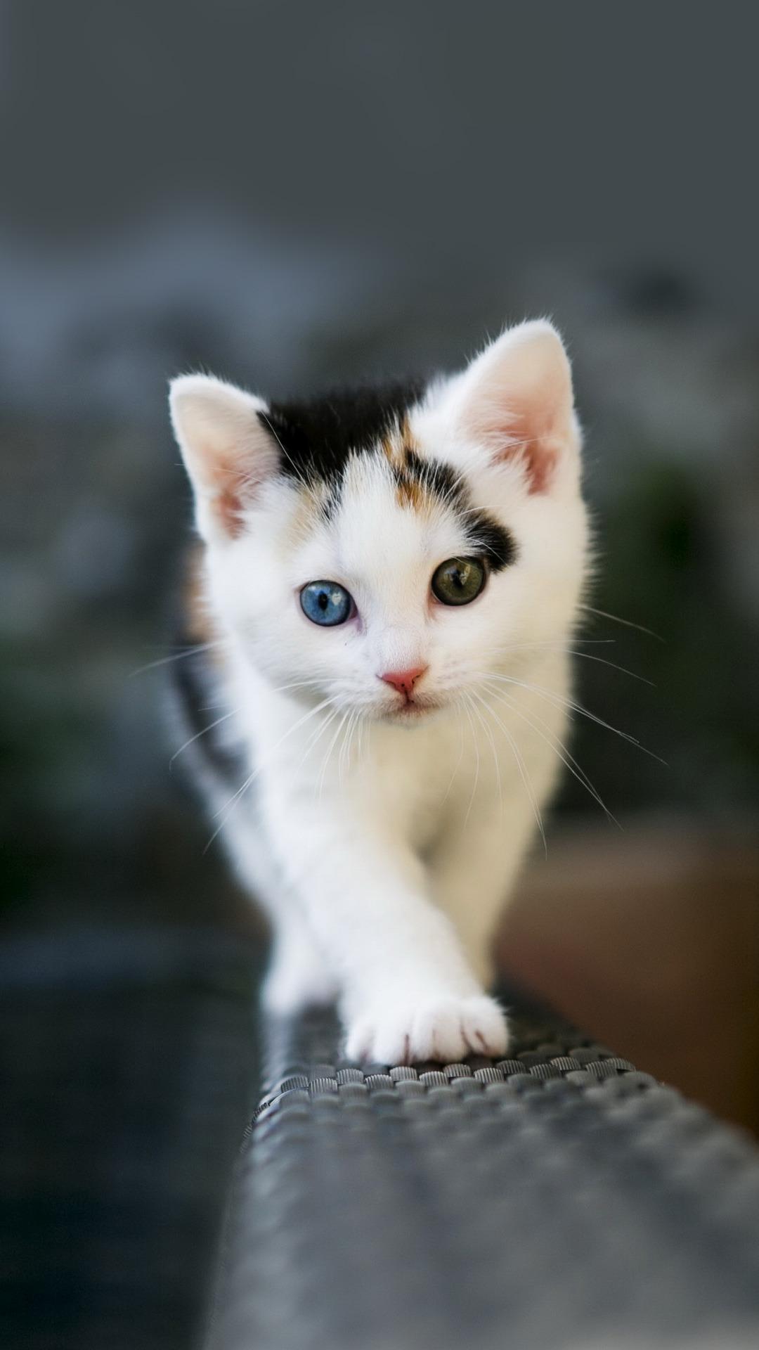 Odd Eyed Kitten IPhone Wallpaper