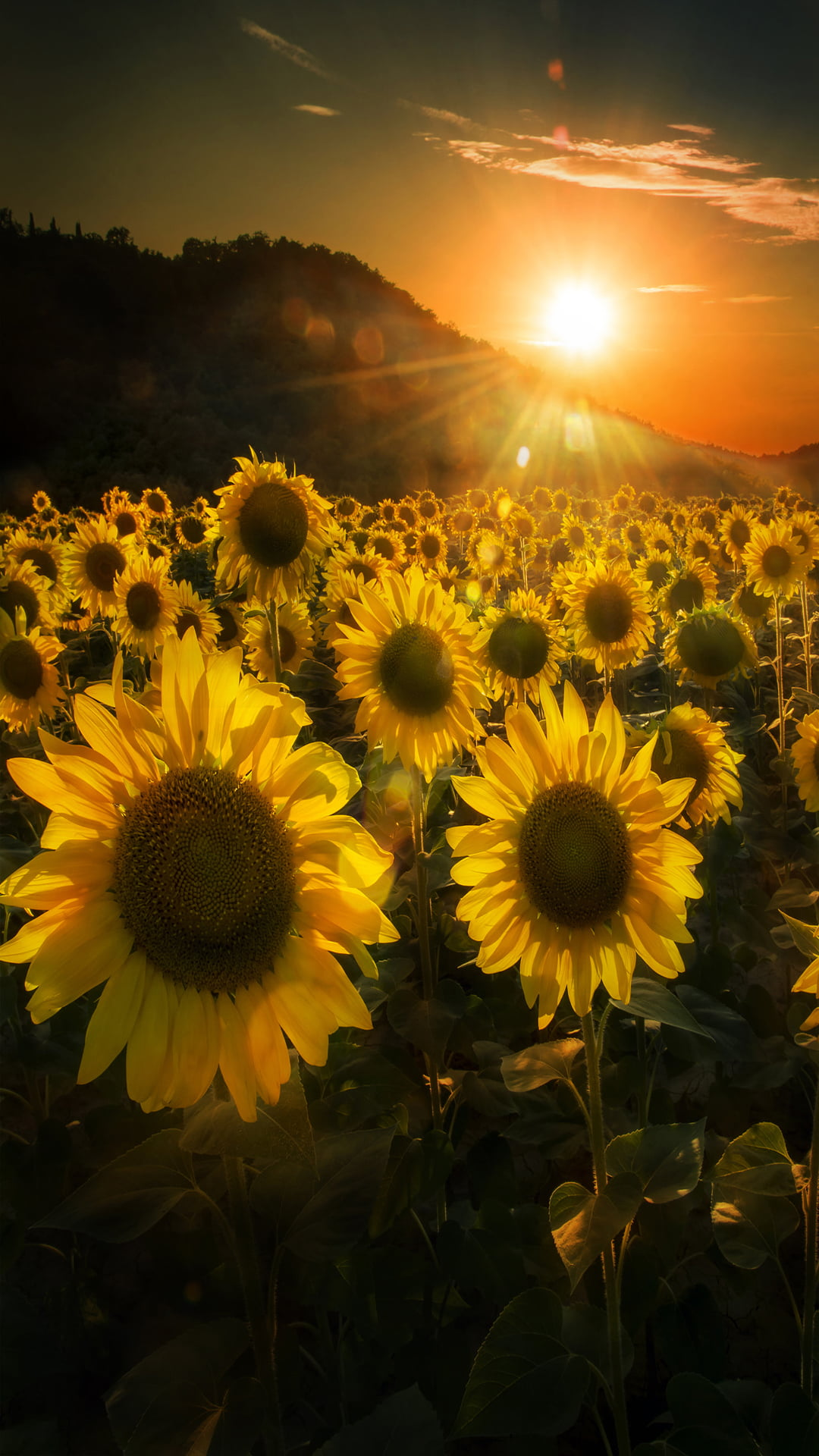 Sunflower   iPhone Wallpapers